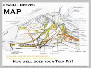 horse cranial nerves