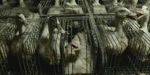 Barren Cages Foie Gras Ducks